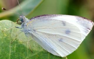 Капустная белянка: как избавиться от огородного вредителя