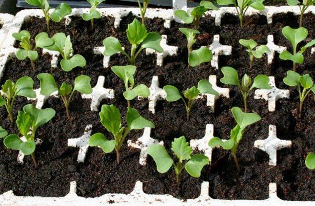 Крепкая рассада капусты. Выращиваем правильно