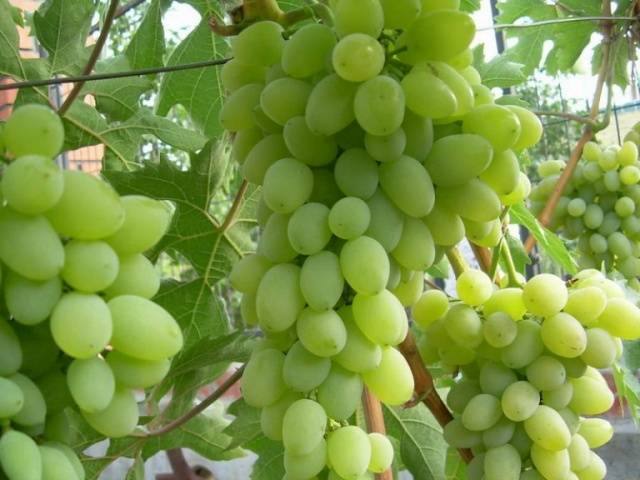 """Виноград """"алекса"""": описание сорта, фото, отзывы"""