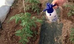 Замачивание семян томатов в перекиси водорода – перед посадкой, обработка, обеззараживание, видео