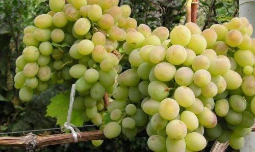 Виноград ланселот - мир винограда - сайт для виноградарей и виноделов