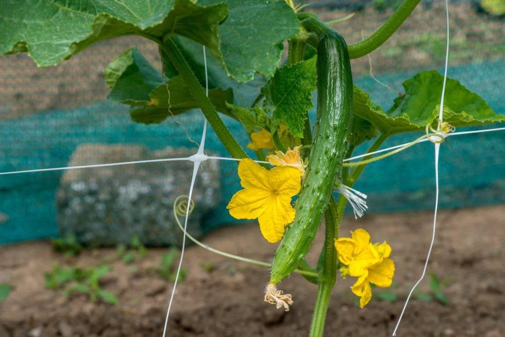 Сорта огурцов изумрудный поток | огородовед
