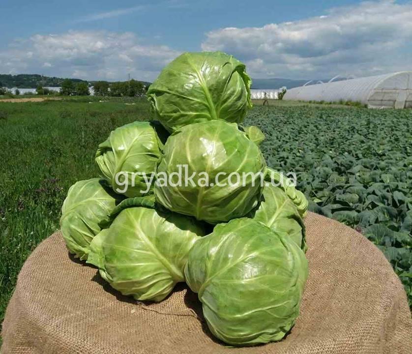 Капуста тобия f1: описание гибрида и характеристика урожайности и вкусовых качеств, фото сорта и отзывы огородников