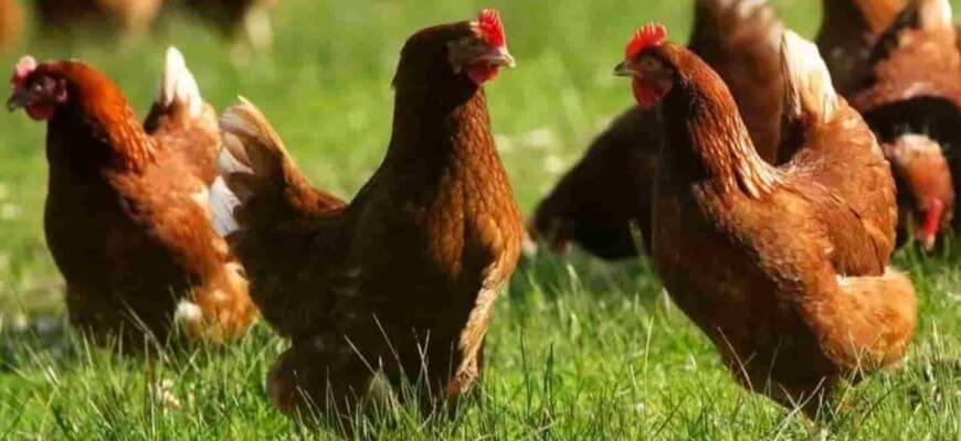Особенности породы кур ломан браун