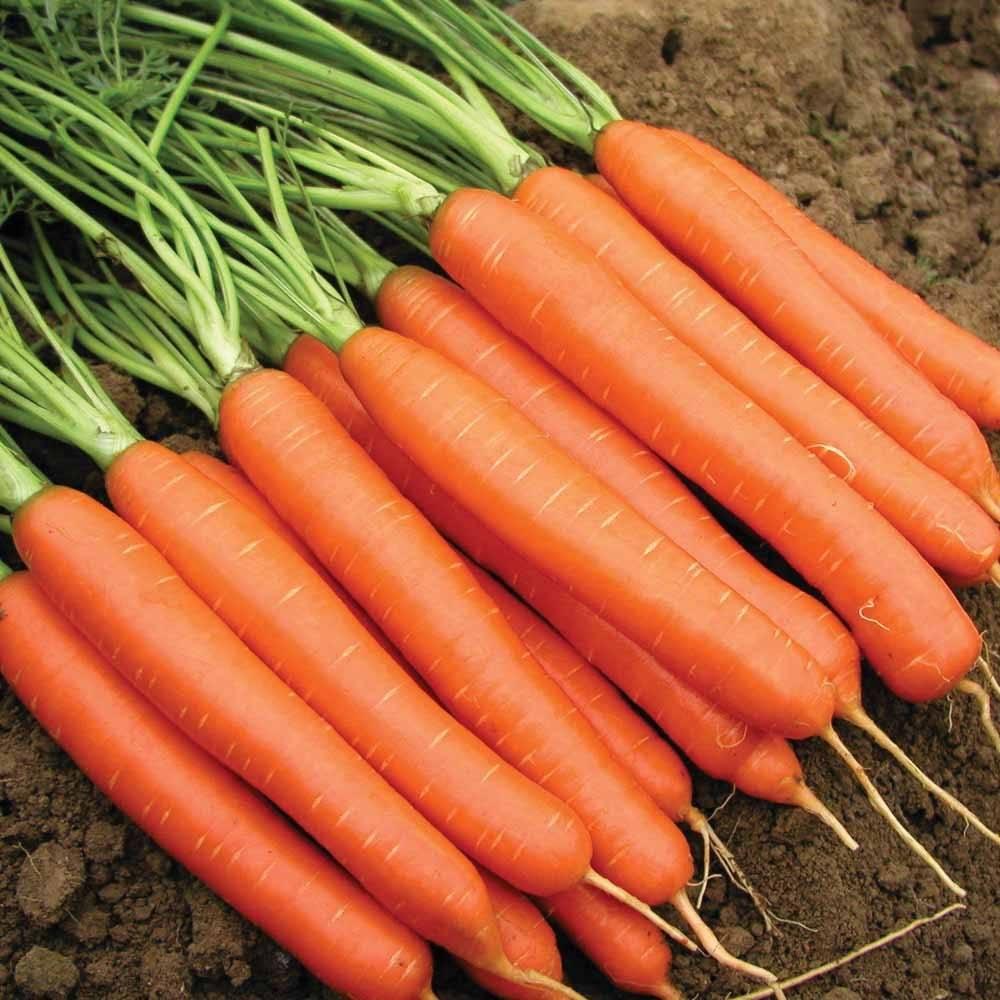 """Морковь """"нантская 4"""": описание сорта, фото, отзывы"""
