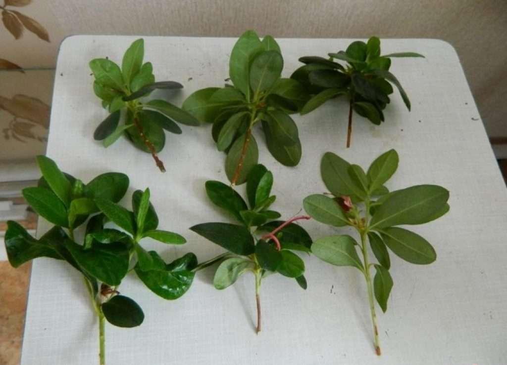 Подробно о том, как вырастить рододендроны из семян - всевогород.ру - подробная информация для садоводов-огородников