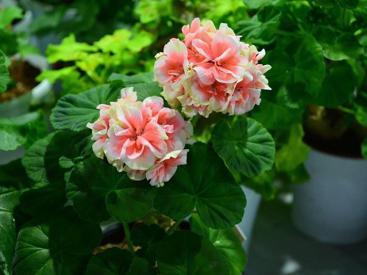 Герань не цветет: причина, чем подкормить герань для обильного цветения дома
