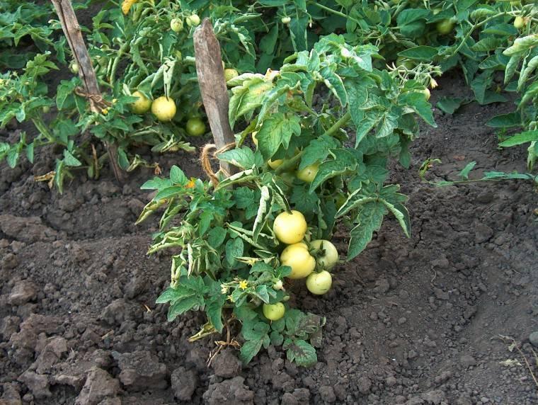 Надо ли окучивать помидоры