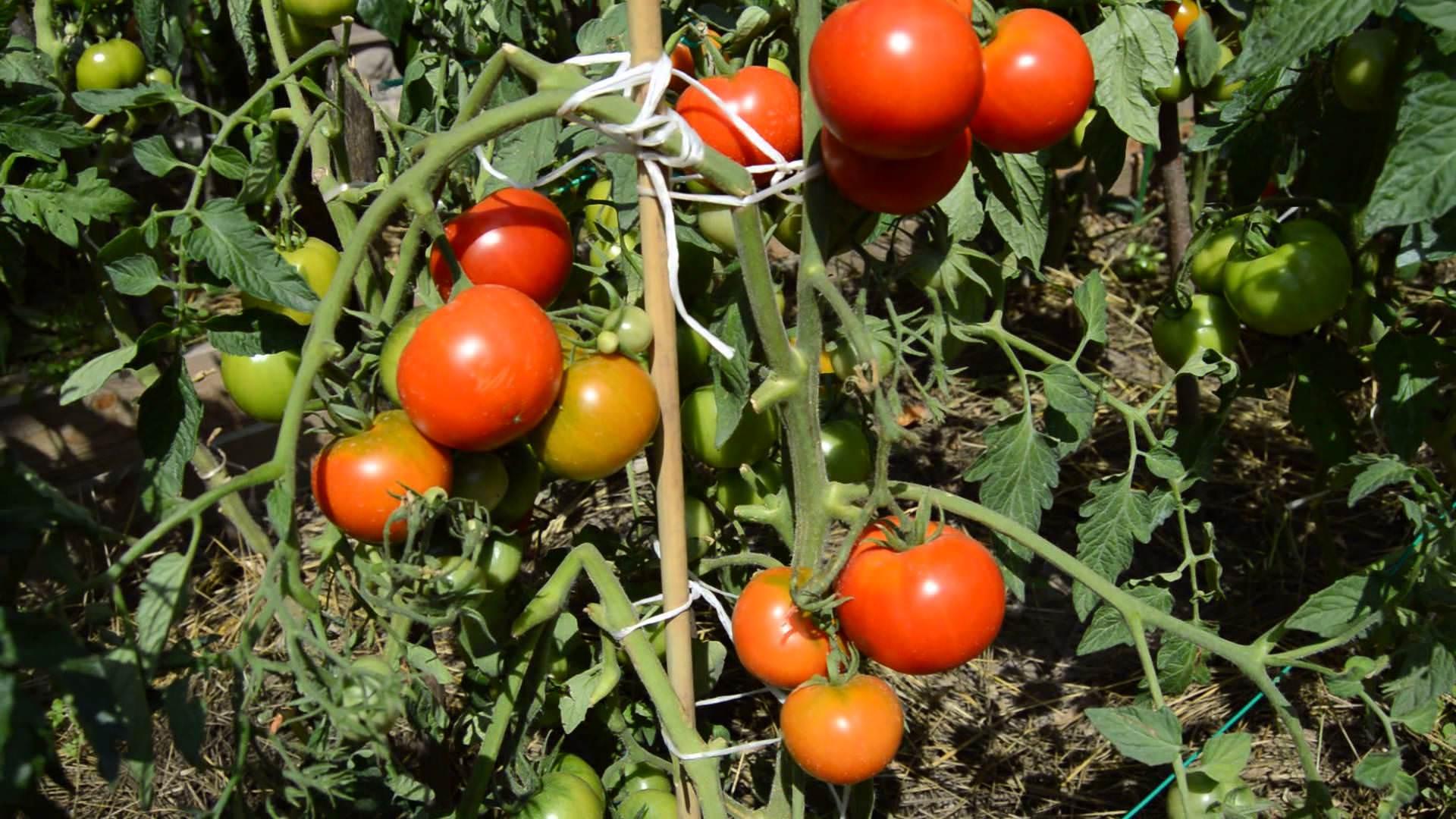 Томат махитос: описание и характеристика, отзывы, фото, урожайность | tomatland.ru