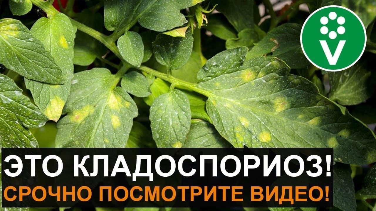 Бурая пятнистость на томатах: как с ней бороться