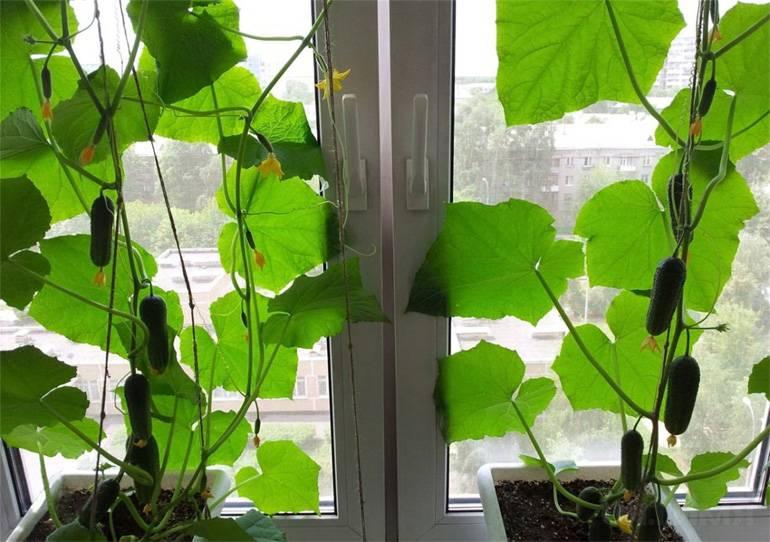 Огурцы на окне: чем подкормить в домашних условиях, таблицы, видео и фото
