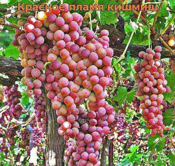 Виноград кишмиш: лучшие сорта, описание