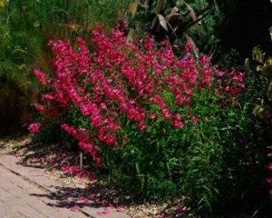 Пенстемон рубра выращивание из семян когда сажать. уход за пенстемоном
