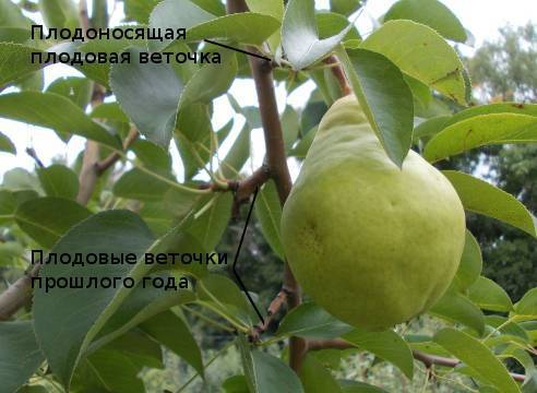 Почему не плодоносит груша: причины, не цветёт, что делать
