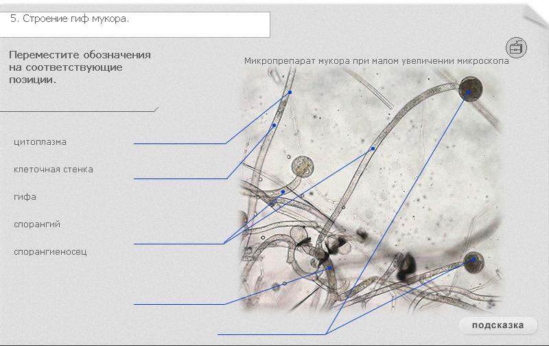 Гриб мукор, или белая плесень: особенности строения, размножения и питания