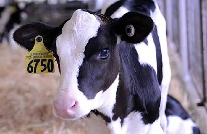 Холмогорская порода коров — описание, характеристики породы
