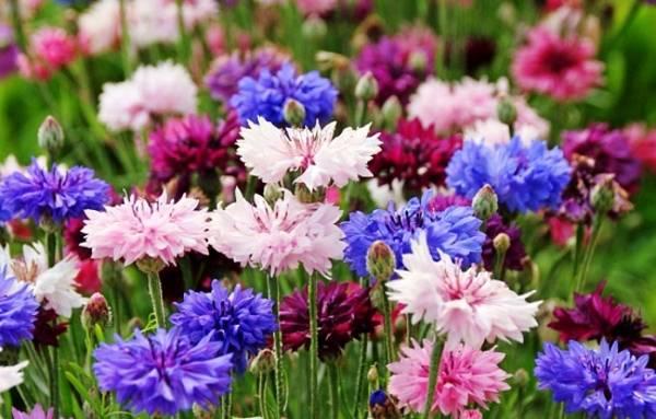 Василек садовый многолетний и однолетний посадка семенами и уход фото сортов