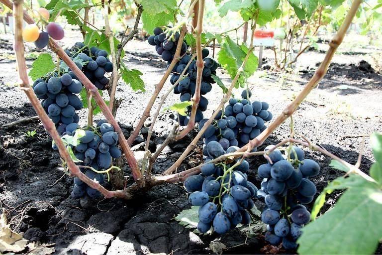 Сорт винограда руслан - сорта винограда | описание, советы, отзывы, фото и видео