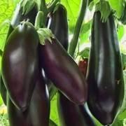 Лучшие сорта баклажанов для выращивания Подмосковье