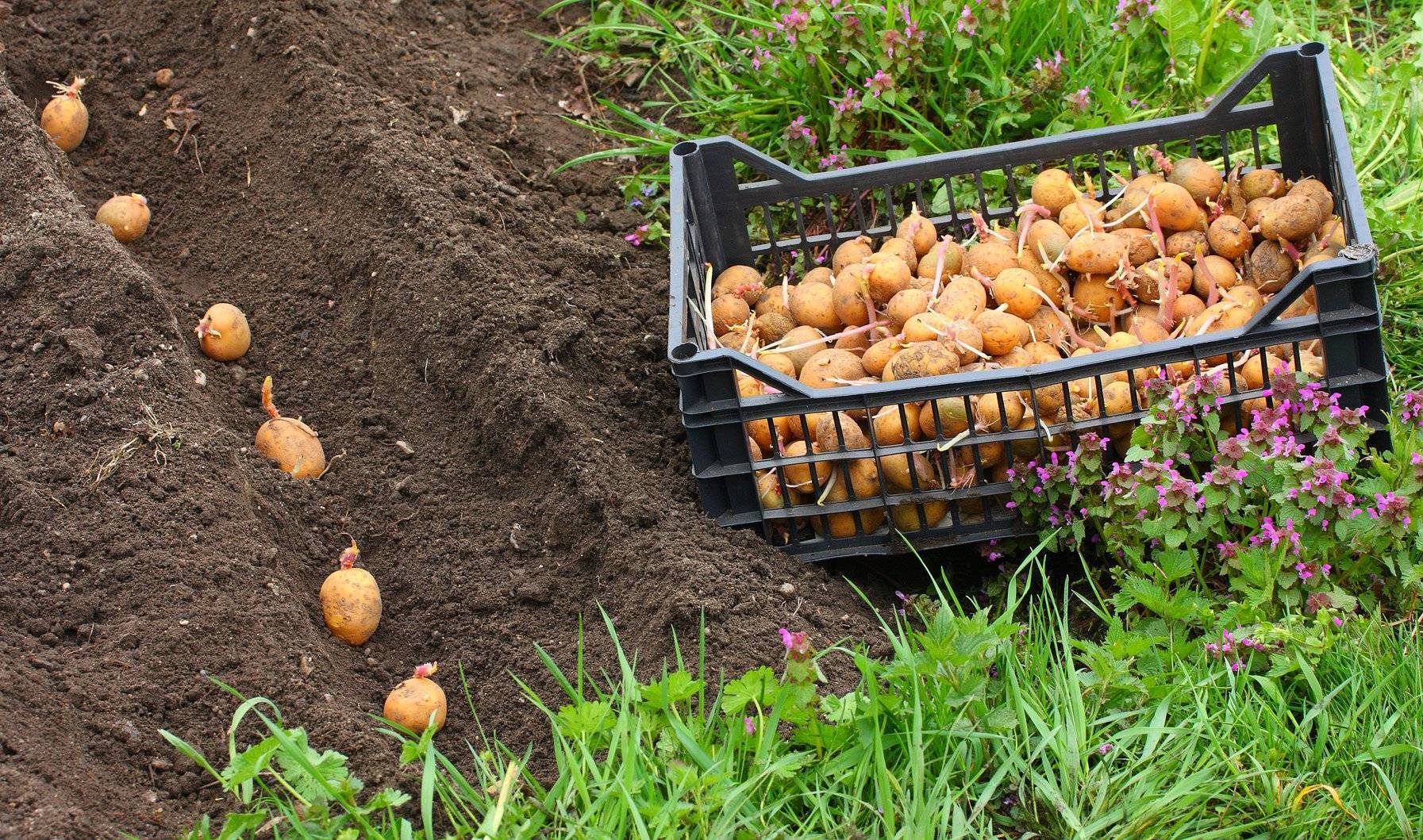 Удобрения картофеля перед окучиванием, листовая подкормка минеральными удобрениями