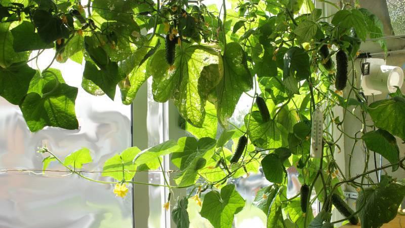 Чем подкормить огурцы во время цветения и плодоношения, почему не цветут огурцы