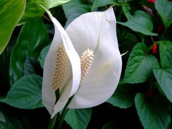 Цветы счастья: спатифиллум, антуриум, аихризон. какие растения привлекают в дом счастье и любовь?