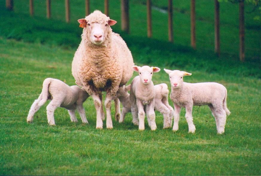 Секреты выделки овчины и козьих шкур в домашних условиях