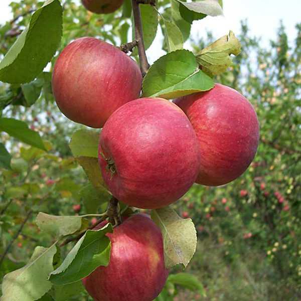 Пусть расцветают яблони и груши!