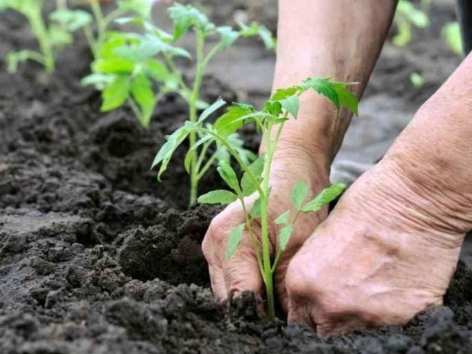 Что делать, если у томатов скручиваются листья — agroxxi