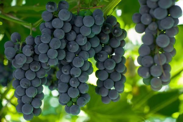 """Виноград """"альфа"""": описание сорта, фото, отзывы"""