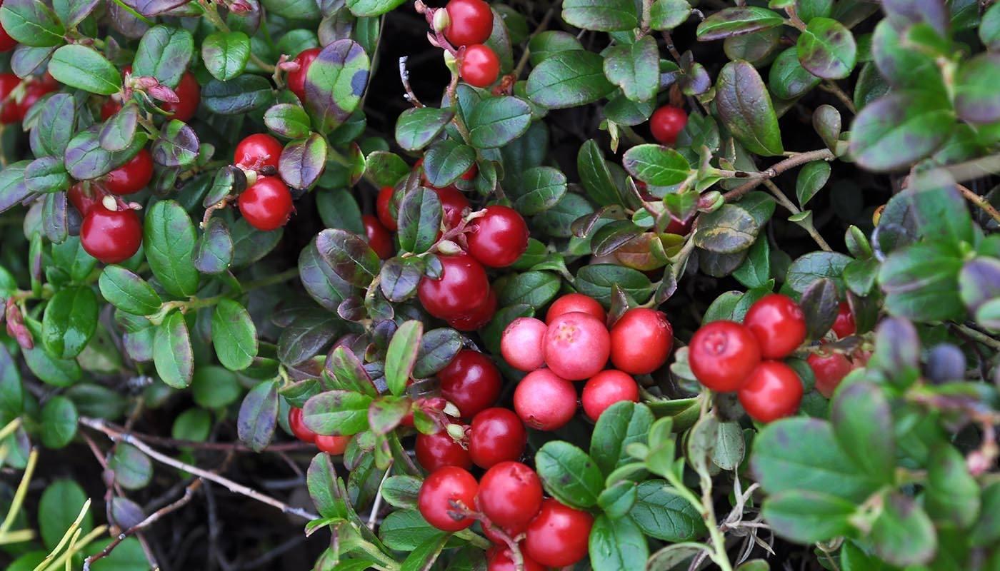 Брусника: посадка и уход в открытом грунте, виды и сорта, полезные свойства
