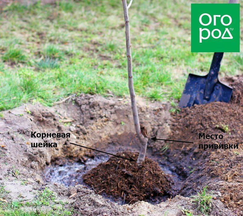 Как правильно посадить яблоню весной и осенью