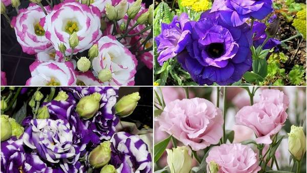 Многолетняя эустома – посадка и уход за цветком во всех подробностях с фото