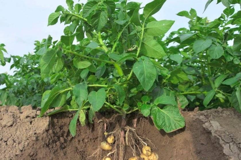 Высокая ботва у картофеля: что делать, срезать ли после цветения, советы с фото и видео