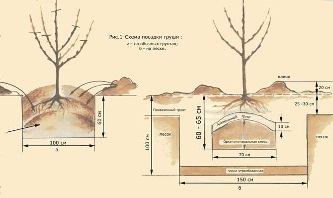 Правила и сроки посадки груши
