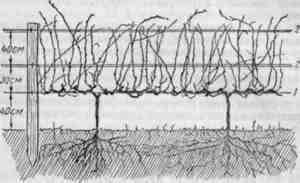 Формирование куста винограда: типы и правила
