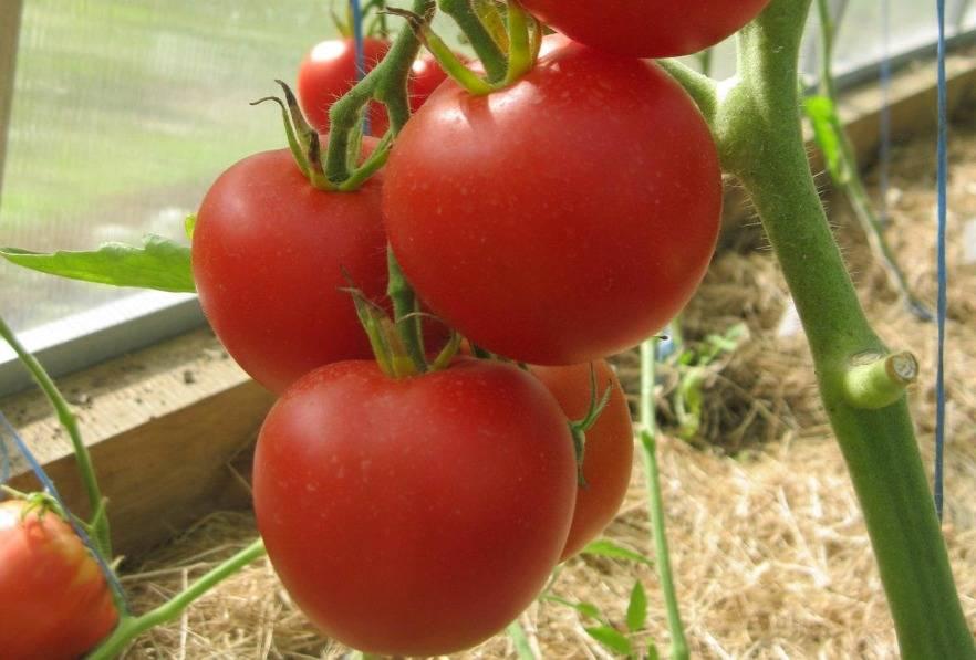 Томат благовест: характеристика и описание, отзывы, фото, урожайность