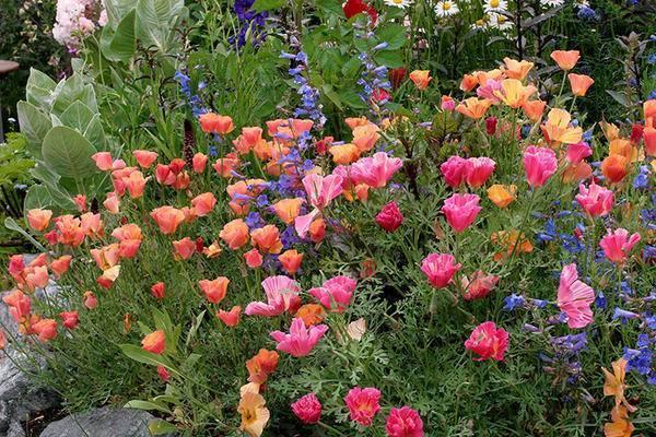 Цветы эшшольция - выращивание из семян, посадка