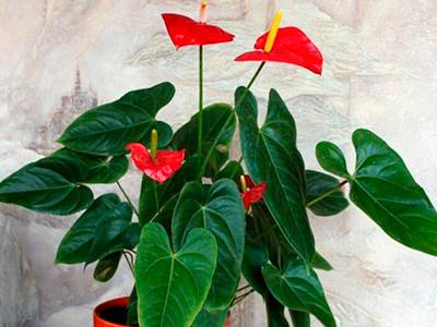 Правила ухода за комнатным цветком «Антуриумом»: фото + видео