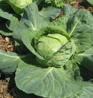 Лучшие 15 сортов поздней капусты для хранения на зиму и правила выращивания
