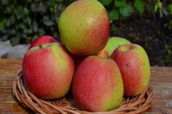 Сортовая характеристика яблони Скала