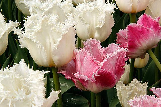Когда цветут тюльпаны: период цветения в открытом грунте, ранние и поздние сорта