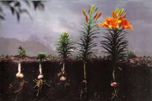 Когда сажать лилии в открытый грунт весной? лучшее время посадки