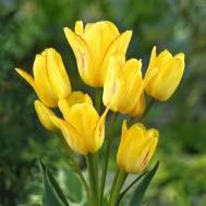 Сорта многоцветковых кустовых тюльпанов: описание и фото