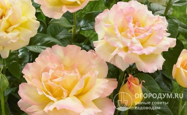Роза «глория дей»: описание сорта, фото и отзывы
