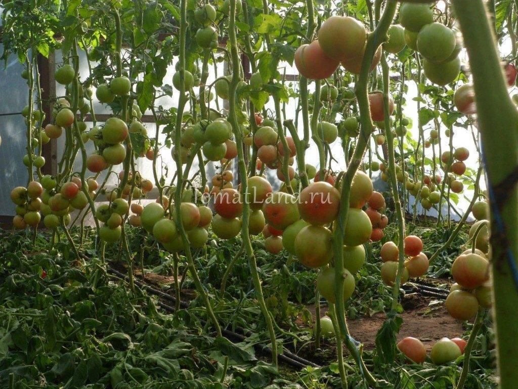 Описание томата махитос и особенности выращивания гибрида