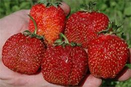 Клубника зефир – описание сорта, фото, отзывы садоводов