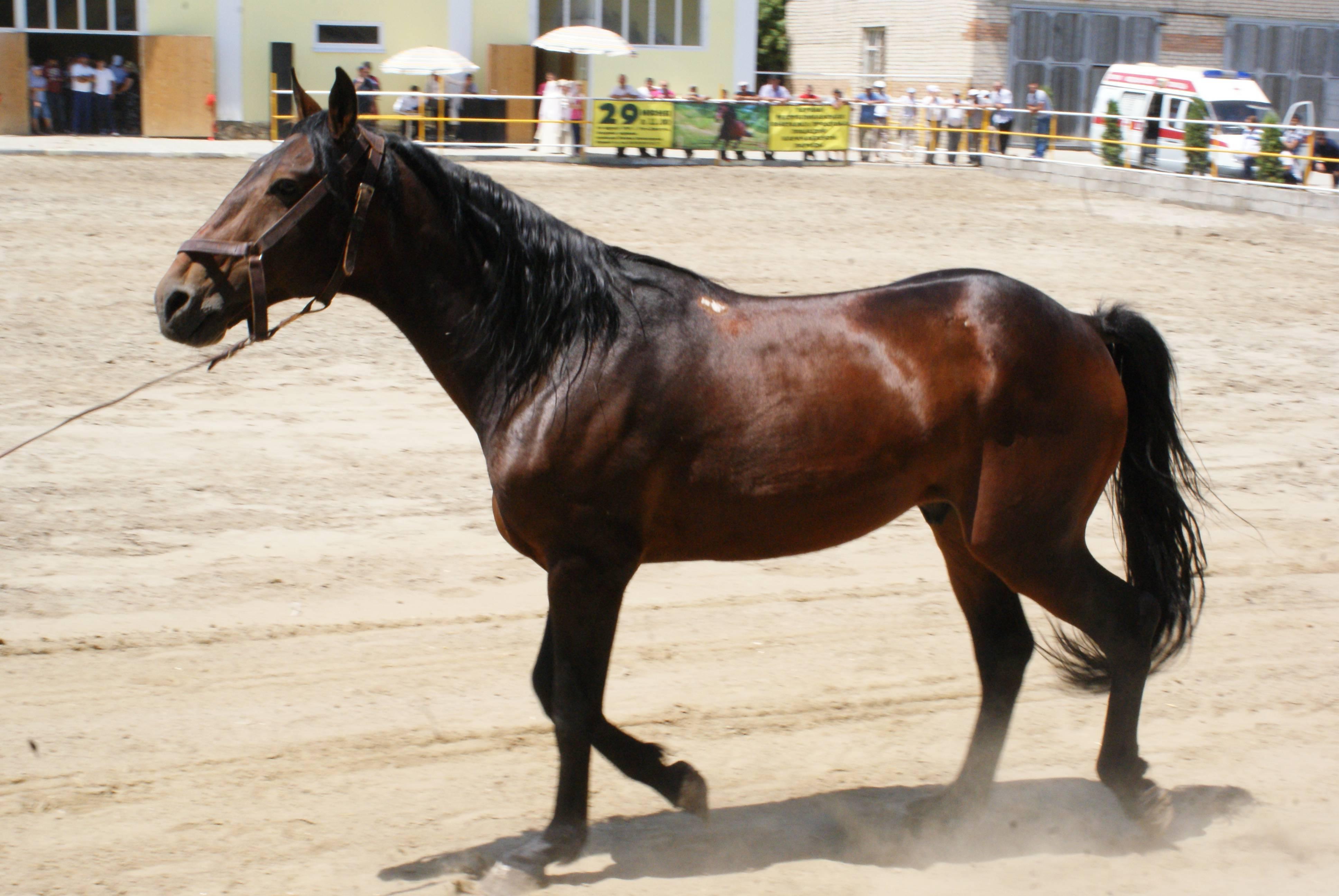 Карачаевская порода лошадей: характеристики, племенные линии, разведение, фото и видео, описание и история