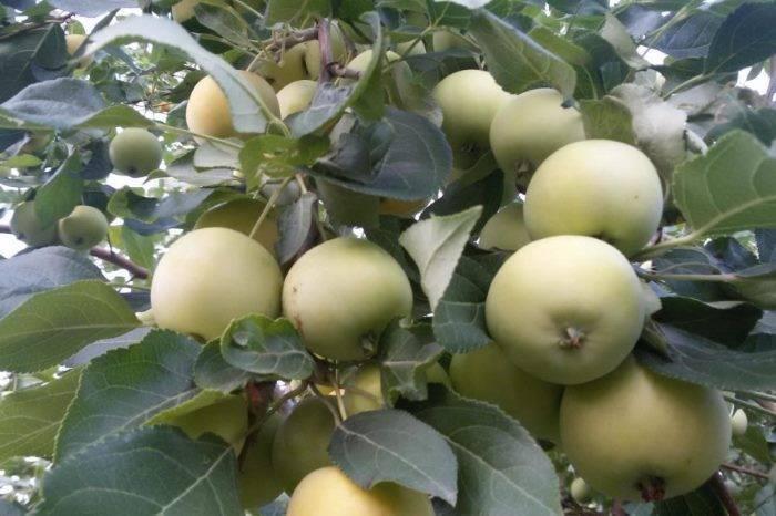 Сорта яблонь для урала: лучшие сорта яблок для северных регионов россии