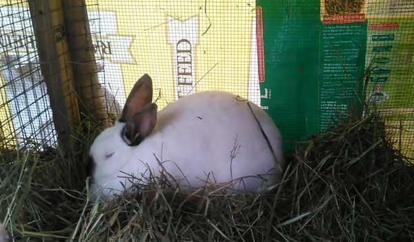Содержание на улице, чем поить, кормить кроликов в зимнее время; окрол зимой; какую температуру выдерживать
